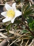 Первоцвет – весны привет